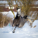 Grauschimmel galoppiert auf Winterhintergrund Lizenzfreie Stockfotos