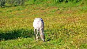 Grauschimmel isst ein Gras auf einer Sommerwiese stock video footage