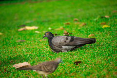 Grautaubenvogel auf Rasen Stockbilder