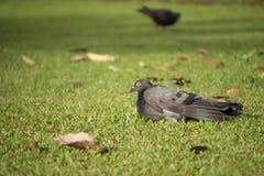 Grautaubenvogel auf Rasen Lizenzfreie Stockfotos