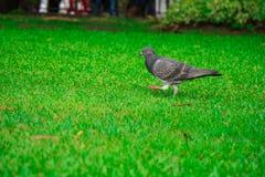 Grautaubenvogel auf Rasen Stockbild