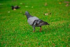Grautaubenvogel auf Rasen Lizenzfreies Stockfoto