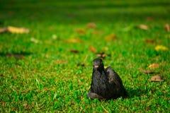 Grautaubenvogel auf Rasen Stockfotos