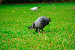 Grautaubenvogel auf Rasen Lizenzfreies Stockbild