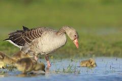 Grauwe Gans, Grey-lag Goose, Anser anser stock photography