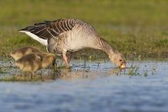Grauwe Gans, Greylag Goose, Anser anser royalty free stock photo