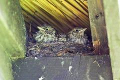 Grauwe Vliegenvanger, Spotted Flycatcher, Muscicapa striata royalty free stock photo