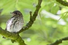 Grauwe Vliegenvanger, Spotted Flycatcher, Muscicapa striata stock photos