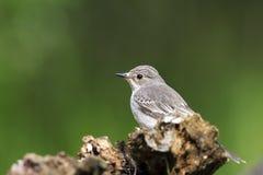 Grauwe Vliegenvanger, Spotted Flycatcher, Muscicapa striata royalty free stock photography