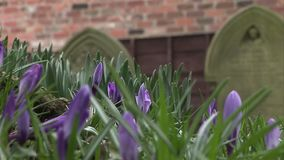 Grave stones in England with crocus growing. English church yard with grave stones stock video