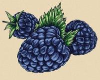 Graveer de geïsoleerde getrokken grafische illustratie van Blackberry hand Royalty-vrije Stock Foto's