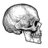 Graveer geïsoleerde menselijke schedelhand getrokken grafische illustratie Stock Afbeelding