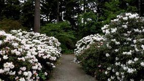 A gravel path leading past many large rhododendron bushes with many pale white flowers. All being pollinated by bumble bees on a windy afternoon stock footage