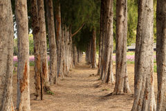 Gravel path between pine trees Stock Photos