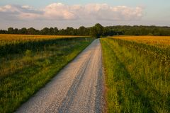 Gravel Road with Cornfields. Country gravel road between two fields of corn at sunset in the midwest royalty free stock photos