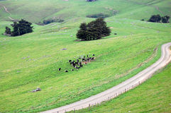 Gravel road and cows at farmland rural area Royalty Free Stock Photography