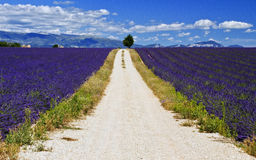 Gravel road through Lavender Field Stock Photo