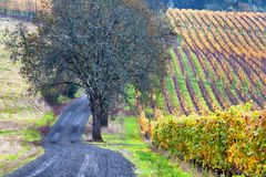 Dundee Hills Vineyards in Oregon. A gravel road travels along sige a vineyard in autumn colors covers the Dundee rolling hills in Dundee, Oregon Royalty Free Stock Photography