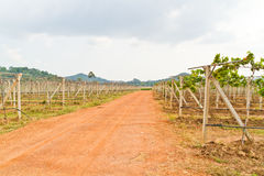 Gravel roads in the vineyards Stock Photos