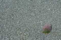 Texture from a gravel area with a blossoming wildflower. Solitary clump of pink flowers on a gray background of small stones. Blooming weed cluster on a rough royalty free stock images