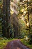 Gravelez la courbe de route par la forêt de séquoia, rayons de lumière du soleil Photographie stock libre de droits