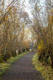 Gravelez le sentier piéton rayé par des saules d'arbre étêté en automne Photo libre de droits