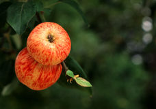 Gravenstein apples Royalty Free Stock Photos