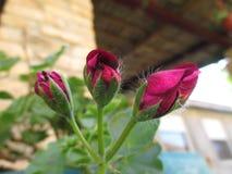 Graveolens do Pelargonium imagem de stock