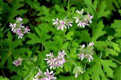 Graveolens do Pelargonium, Rose Geranium, gerânio scented doce fotografia de stock royalty free