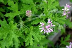 Graveolens do Pelargonium, Rose Geranium, ger?nio scented doce imagens de stock