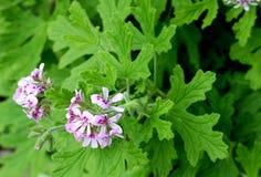 Graveolens do Pelargonium, Rose Geranium, ger?nio scented doce foto de stock royalty free