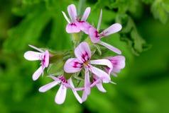 Graveolens do Pelargonium, Rose Geranium, ger?nio scented doce foto de stock