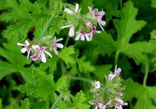 Graveolens do Pelargonium, Rose Geranium, ger?nio scented doce fotos de stock