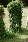 Gravestone covered in ivy Stock Images