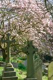 Gravestones with Pink Cherry Blossom Royalty Free Stock Photos