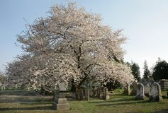 Graveyard. Blossom tree in graveyard Royalty Free Stock Photos