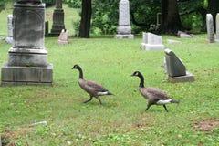 Graveyard Geese 1 Stock Image