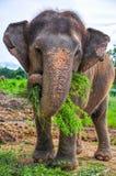 gravid elefant Arkivbilder