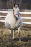 gravid häst Arkivbild