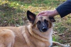 gravid hund royaltyfri bild