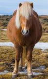 Gravid isländsk häst Arkivfoton