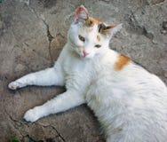 gravid katt royaltyfria bilder