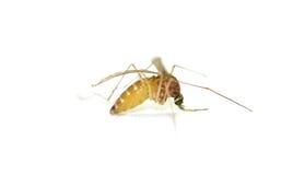 Gravid komar wypełniający z jajkami obraz stock