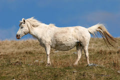 gravid ponny Royaltyfria Bilder