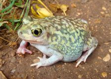 A gravid, or pregnant toad, the Spadefoot Toad Stock Image