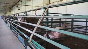 Gravid sugga Amma suggan lantgård med stora suggor arkivfilmer