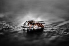 Gravid Yellow Jacket Wasp Closeup Photography Royalty Free Stock Images