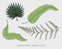 Gravierte, Hand gezeichnete tropische oder exotische Blätter lokalisiert, Blatt der unterschiedlichen Weinlese Anlagen schauend m Stockfoto