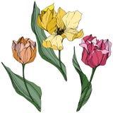 Gravierte Tintenkunst des Vektors Tulpe Botanische mit Blumenblume Federblatt Wildflower Lokalisiertes Tulpenillustrationselement vektor abbildung