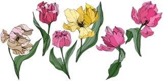 Gravierte Tintenkunst des Vektors Tulpe Botanische mit Blumenblume Federblatt Wildflower Lokalisiertes Tulpenillustrationselement stock abbildung